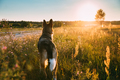 Mixed Breed Dog Walking In Summer Meadow Grass At Sunset Time. E - PhotoDune Item for Sale