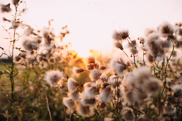 Sunshine Through Fluffy Carduus Flowering Plants During Summer S - Stock Photo - Images