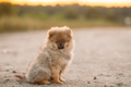 Young Happy White Puppy Pomeranian Spitz Puppy Dog Sitting Outdo - PhotoDune Item for Sale