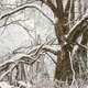 Snow-covered Tree In Winter Frosty Forest. Trees In Snow - PhotoDune Item for Sale