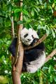 Giant panda bear in China - PhotoDune Item for Sale