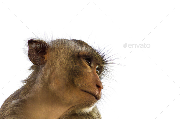 Macaque monkey isolated on white_ - Stock Photo - Images