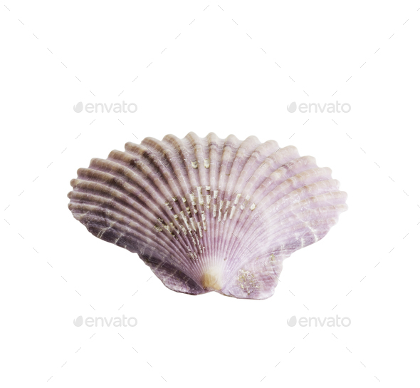 Scallop seashell isolated on white 1 - Stock Photo - Images