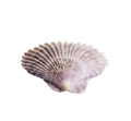 Scallop seashell isolated on white 1 - PhotoDune Item for Sale