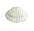 Scallop seashell isolated on white 6 - PhotoDune Item for Sale