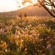 Flower field in sunset - PhotoDune Item for Sale