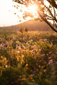 Flower field in sunset - PhotoDune Item for Sale