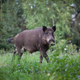 Wild boar - PhotoDune Item for Sale