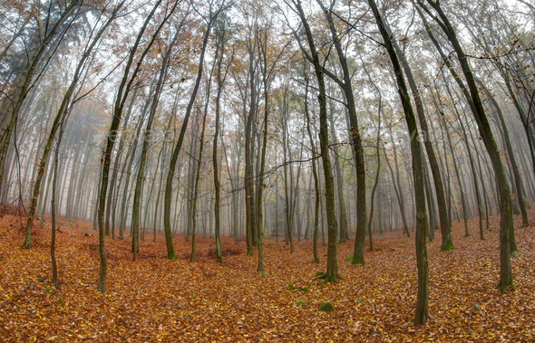 Fog in beechwood in autumn - Stock Photo - Images