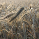 Dew Drops on a Ear of Barley in a Field - PhotoDune Item for Sale