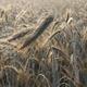 Dew Drops on a Ear of Barley in a Field - PhotoDune Item for Sale