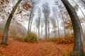 Misty haze in a beech forest in autumn - PhotoDune Item for Sale