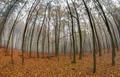Fog in beechwood in autumn - PhotoDune Item for Sale