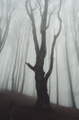 old tree in foggy forest - PhotoDune Item for Sale