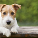 Puppy pet training - smart happy jack russell dog puppy looking - PhotoDune Item for Sale