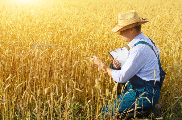 Farmer with clipboard inspecting crop at wheat field - Stock Photo - Images