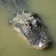 Swamp Alligator Treading Water Southern Animal Wildlife - PhotoDune Item for Sale
