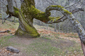 Centuries old chestnut tree on Ambroz valley. Amazing nature. Spain  - PhotoDune Item for Sale