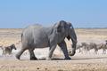 Elephant walking in Etosha - PhotoDune Item for Sale