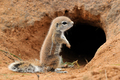 Cape Ground Squirrel in front of burrow - PhotoDune Item for Sale