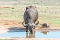 Cape Buffalo and Leopard tortoise - PhotoDune Item for Sale