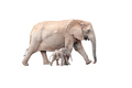Elephant calf and mother isolated on white - PhotoDune Item for Sale