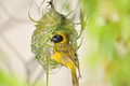 Male Southern Masked Weaver - PhotoDune Item for Sale