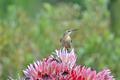 Cape sugarbird on protea flowers - PhotoDune Item for Sale
