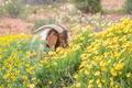 Boerbok eats flowers - PhotoDune Item for Sale