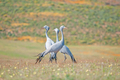 The Blue Crane, Grus paradisea - PhotoDune Item for Sale