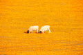 Sheep in a carpet of indigenous flowers at Arkoep - PhotoDune Item for Sale