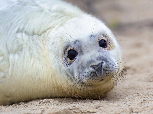 Surprised looking baby seal Stock Photo by CreativeNature_nl | PhotoDune