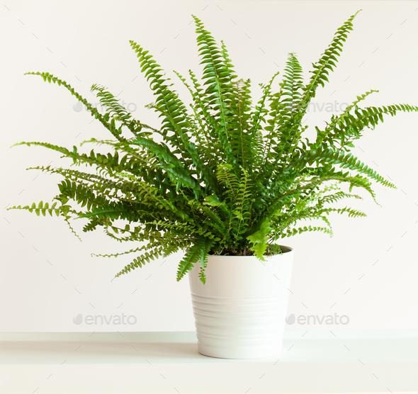 houseplant Nephrolepis  in white flowerpot - Stock Photo - Images