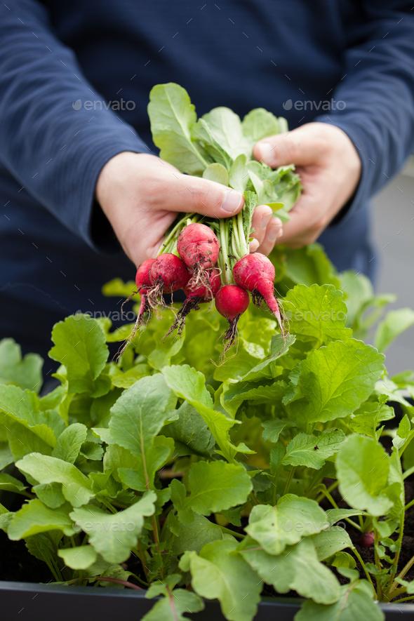 man gardener picking radish from vegetable container garden on b Stock Photo by duskbabe