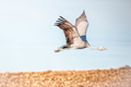Flying Blue Crane - PhotoDune Item for Sale