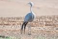 Standing Blue Crane - PhotoDune Item for Sale
