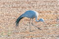 Walking Blue Crane - PhotoDune Item for Sale