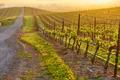 Vineyards at sunrise in California, USA - PhotoDune Item for Sale