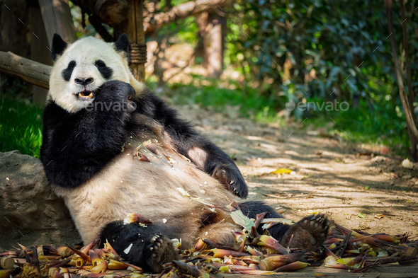 Giant panda bear in China - Stock Photo - Images