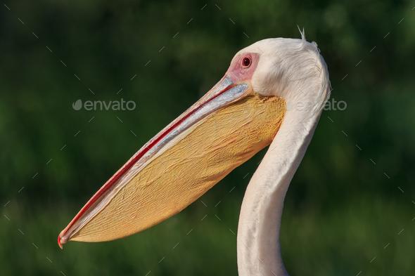 white pelicans (pelecanus onocrotalus) in Danube Delta, Romania - Stock Photo - Images