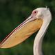 white pelicans (pelecanus onocrotalus) in Danube Delta, Romania - PhotoDune Item for Sale