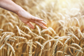 hand touching golden wheat - PhotoDune Item for Sale