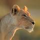 African lioness portrait - PhotoDune Item for Sale