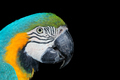 Blue-and-yellow Macaw on black - PhotoDune Item for Sale