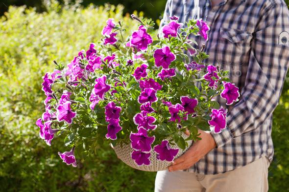 man gardener holding petunia flowers in flowerpot in garden - Stock Photo - Images