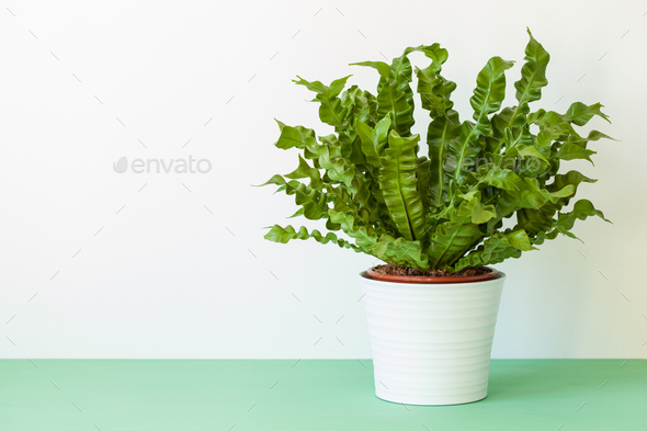houseplant Asplenium nidus in white flowerpot - Stock Photo - Images