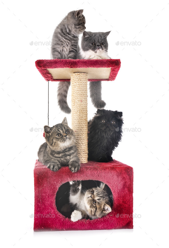 exotic shorthair kitten - Stock Photo - Images