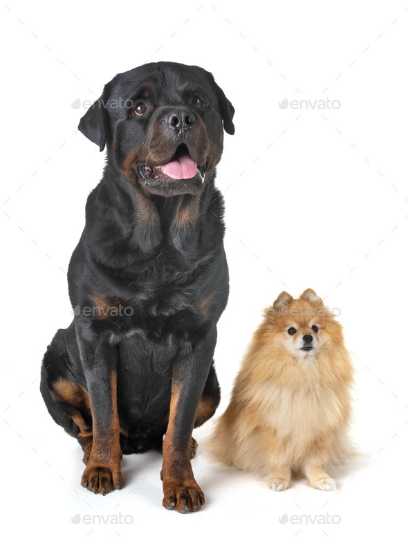 rottweiler and spitz - Stock Photo - Images