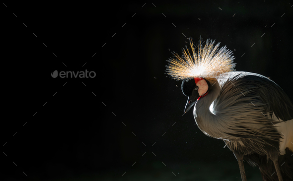 Grey crowned crane in dark background - Stock Photo - Images