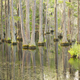 Cypress Trees Georgia Swamp - PhotoDune Item for Sale